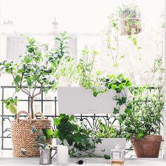 For a bedroom window... sweet jasmine, passionfruit, vervain, mints, lemon. Come warmer weather we'll add lavender. For the sweetest of dreams. . Pour une fenêtre de chambre...Jasmin doux, fruit de la passion, verveine, menthe et citron. Avec le temps plus chaud, nous rajouterons de la lavande. Pour les rêves les plus doux. . #jardiniere #paris10 #paris #jardin #urbanjunglebloggers #beautifulsmartwild #reborddefenetre #windowsill #green #yourcitygarden