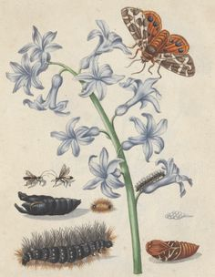 An illustration of the metamorphosis of the tiger moth by Maria Sibylla Merian, 16th century scientist, artist, author