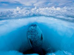 A ringed seal comes up for air in Admiralty Inlet, Nanavut, in northern Canada. The photograph is part of Extreme Exposure, an exhibition at the Annenberg Space for Photography, in California  Photographer: Paul Nicklen/ National Geographic