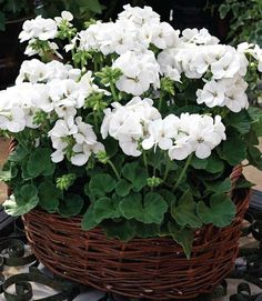 Never underestimate the power of a simple white flower. Geraniums are cheap and easy to care for