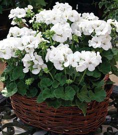 White geraniums in basket