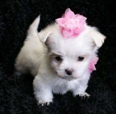 teacup maltese puppy. this. is. adorable.  <3