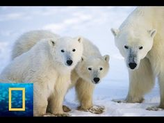 [National Geographic Channel] Polar Bears Lives-Wild Alaska Wildlife 201...