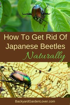 know the feeling when you see the signs of a Japanese beetles attack. Learn how to get rid of Japanese beetles naturally with these tips. Save your roses, grapevines and veggies with these quick and easy homemade solutions. Garden Bugs, Garden Pests, Garden Insects, Herbs Garden, Fruit Garden, Organic Gardening, Gardening Tips, Vegetable Gardening, Planting Vegetables