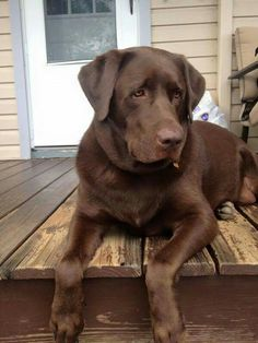 Labrador Retriever Chocolate, Chocolate Lab Puppies, Labrador Retriever Dog, Chocolate Labs, Labrador Puppies, Corgi Puppies, Cute Dogs And Puppies, I Love Dogs, Pet Dogs