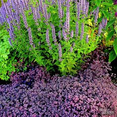 Sooner or later every part of the country is subject to periods of drought. To prepare for the worst and still have a colorful garden, choose plants that thrive when it's dry. This colorful bed includes anise hyssop and creeping sedum. Both grow and bloom even when rainfall is scarce.
