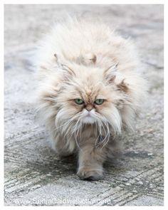 Parisian Persian - cat, green eyes, beige, grey, long-haired, fluffy, whiskers, soft, Paris photography 8x10 - Original Fine Art Photograph
