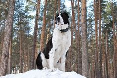 #Spondyloza u psa