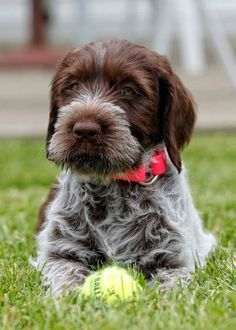Dog And Puppies German Shepherd Wirehaired Pointing Griffon Pup.Dog And Puppies German Shepherd Wirehaired Pointing Griffon Pup Tiny Dog Breeds, Best Dog Breeds, Fox Terriers, Baby Dogs, Dogs And Puppies, Fluffy Puppies, Doggies, Scottish Terrier, Big Dog Toys