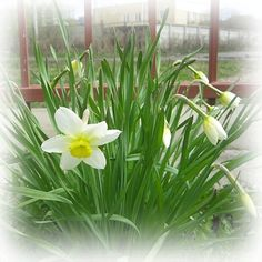 #spring #green #flower #flowers #landscape #Ural #city #plants #Chelyabinsk #nature #Челябинск #город #зелень #весна #пейзаж #цветок #цветы #природа #нарциссы by ikebana_faberje