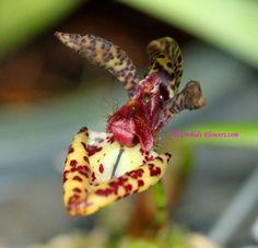 paphiopedilum hibridos - Buscar con Google