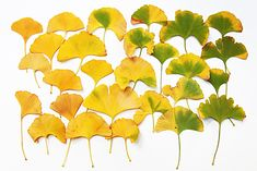 ginko leaves  (mary jo hoffman)