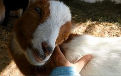 #goatvet likes this video of a Cute Baby Goat Loves to Get Scratched