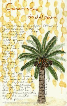 Willy Anderson: Canarische dadelpalm / Canarian date palm
