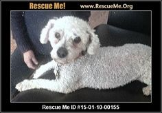 Rescue Me ID: 15-01-10-00155 (male)  Bichon Frise  Age: Senior  Compatibility:Good w/ Most Dogs, Not Good w/ Cats, Good w/ Kids and Adults Personality:Average Energy, Average Temperament Health:Neutered, Vaccinations Current  This is BEN. Ben is a handsome 14 year old, male Bichon. Ben's owner passed away a few months ago and Ben's owner's wife works full time and is not home enough to give Ben the attention he deserves. He was used to being with his daddy all day long and…