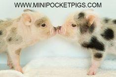 Mini & Micro Juliana Baby Pigs For Sale- Sloane Carolyn Micro Pigs For Sale, Baby Pigs For Sale, Cute Funny Animals, Cute Baby Animals, Animal Babies, Farm Animals, Guinea Pig Care, Guinea Pigs, Pocket Pig