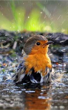 Robin taking a bath.European Robin (Erithacus rubecula), known simply as the robin in the British Isles Cute Birds, Pretty Birds, Beautiful Birds, Animals Beautiful, Funny Birds, Pretty Baby, Simply Beautiful, Nature Animals, Animals And Pets