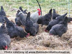 keeping chickens happy in the winter