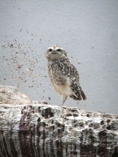 owl  (by pingwynne)