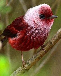 PinkHead Warbler.