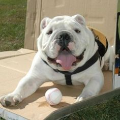 April 21, 2012 is BULLDOGS ARE BEAUTIFUL DAY! Woof!   Dogs Pets Animals Tillman