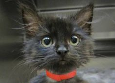 Me, I'm 2 months old & looking for a Forever & Ever Loving Home... and, there are so many more of us Cats waiting here at the Edmonton Humane Society | SPCA in Edmonton, Alberta | Adoptable Animals