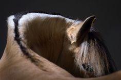 Fjord horse photo Norwegian