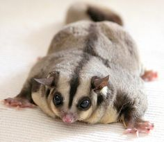 "sugar-spic3:    Sugar Glider (petaurus breviceps) by Thai pix Wildlife photography"" on Flickr."