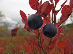 """Finnish Autumn comes with mushroom and berries. Colored trees and forest are called """"Ruska"""" in Finnish. September is hiking season in Lapland."""
