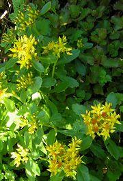 Pääskynmaksaruoho, Sedum kamtschaticum var. ellacombianum, blek kamtjatkafetblad