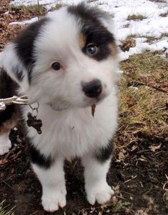 Meet Pixel, the Australian Shepherd! What a cutie patootie.