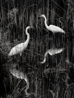 egrets in wading by Frank Somma