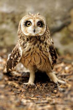 short-eared owl (photo by volodymyr burdyak)