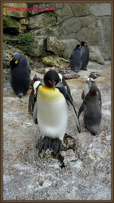 King Penguins - Birdland, Bourton-on-the-Water All About Dolphins, Bourton On The Water, King Penguin, Panda Art, Animal Species, Cute Penguins, School Pictures, Polar Bears, Staycation