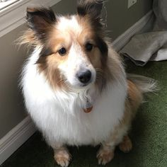 https://flic.kr/p/SEJ1ds   Being this beautiful is exhausting. She looks ready for a post-grooming nap #ilovemydogs #shetlandsheepdog #spaw #petsmartgrooming #grooming #sheltie