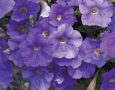 Surfinia® Sky Blue - Petunia hybrid