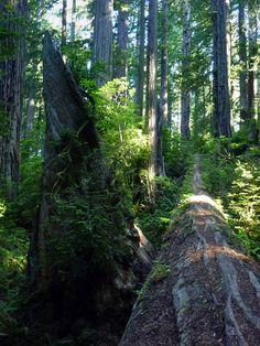 Long, straight, fallen redwood trunk, Del Norte Coast Redwoods State Park
