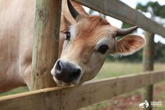 Two Former Dairy Calves Rescued on the Same Day Remain Best Friends (PHOTOS) - #calves #Dairy #Day #Friends #Photos #Remain #Rescued Farm Animals, Cute Animals, Cute Cows, Friend Photos, Love At First Sight, Animals Beautiful, Calves, Best Friends, Cowbell
