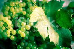 Grapes and vine leaf royalty-free stock photo