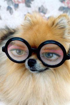 Looks like he's up to something...Pomeranian in Glasses #pompom
