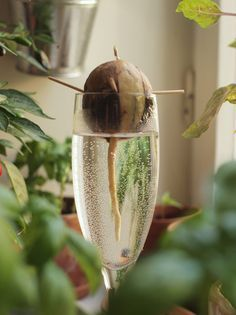 Do you want your own avocado plant? With only one avocado core, the . - Do you want your own avocado plant? The adventure begins with just one avocado core. You can find ou - Garden Projects, Indoor Trees, Avocado Plant, Planting Flowers, Herbs, Plants, Garden, Growing, Seeds