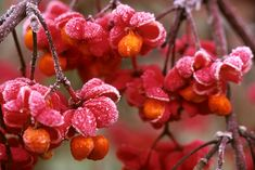 Close-up of frost on Euonymus europaeus 'Red Cascade' (spindle tree).