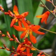 Crocosmia × crocosmiiflora – Montbretia
