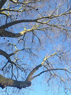 Camberwell plane tree