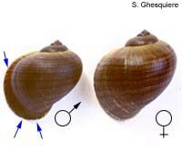 How to tell if a mystery snail is male or female? I only have one mystery snail but I really want to know if its female or male. Aquarium Snails, Aquarium Fish, Baby Snail, Apple Snail, Betta Fish Care, Beta Fish, Angel Fish, Beautiful Fish, Freshwater Aquarium