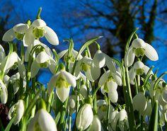 Snowdrops,Hopton Hall