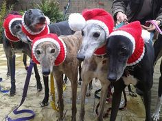 greyhounds christmas hats jan brown