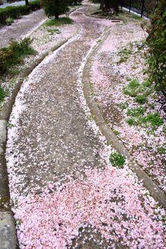 おかざきそすい 散り桜 京都 春 名所
