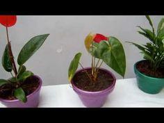 Cómo cultivar Anturios - TvAgro por Juan Gonzalo Angel - YouTube