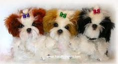 Shih Tzus--One of the smartest breads of all dogs.  LOVE THEM.